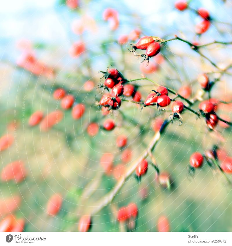 Rosehips in the wind Rose hip Wind windy Berries Berry bushes autumn sun Bushes Wild plant pink pastel shades Beautiful weather Green Red Patch of colour