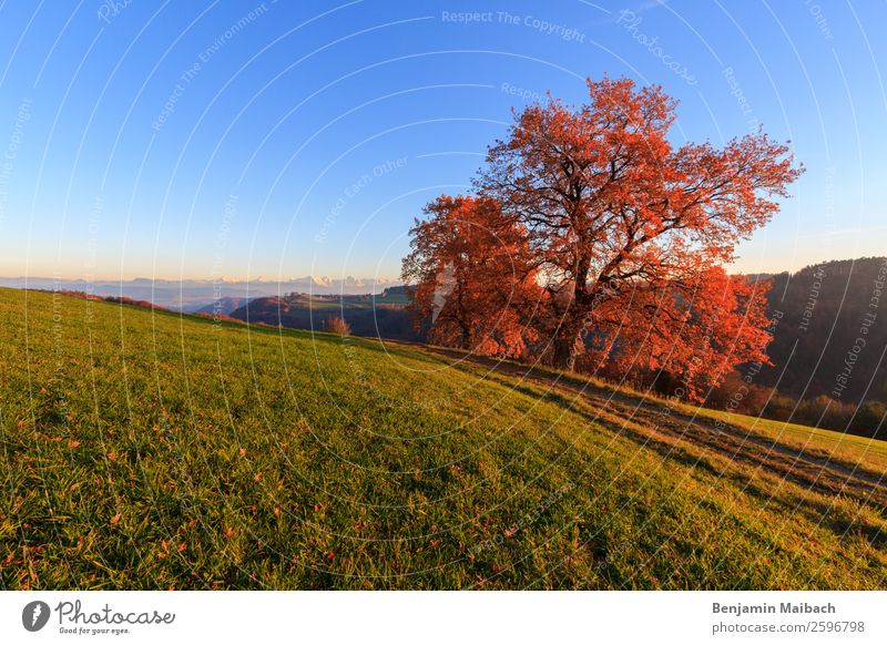 Autumn tree in the evening sun Nature Landscape Plant Sky Cloudless sky Sunlight Beautiful weather Tree Field Hill Alps Lanes & trails Blue Green Orange Red