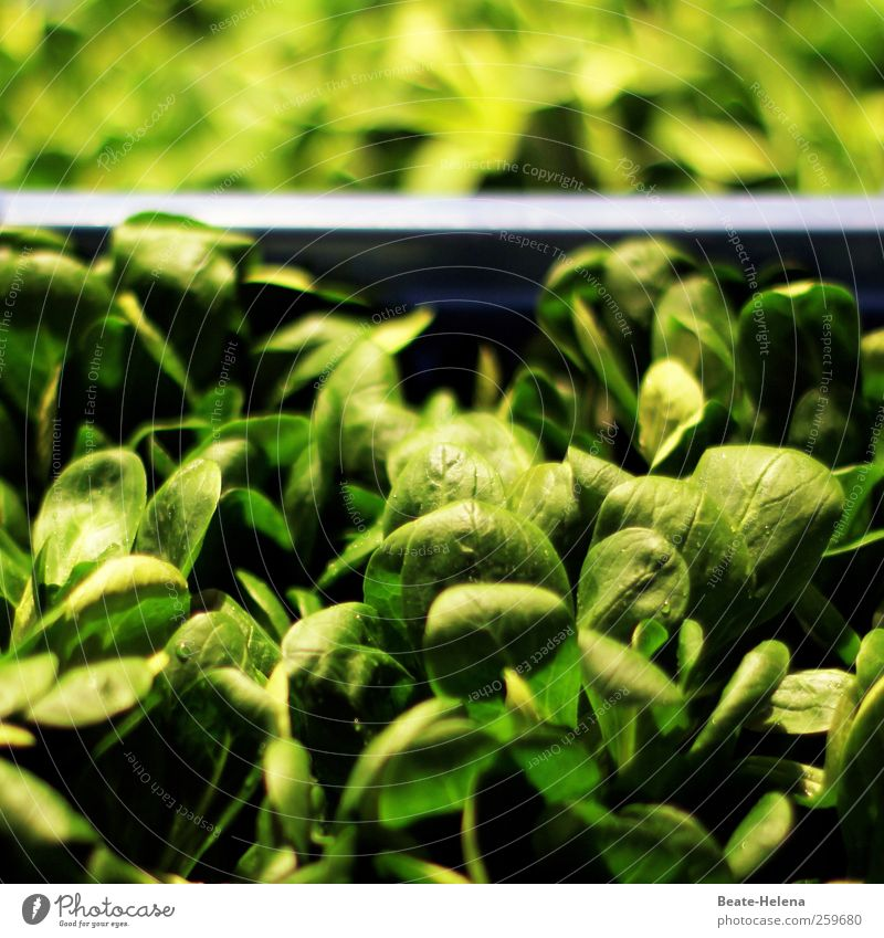 Plant Green Life Healthy Food Fresh Nutrition Energy To enjoy Delicious Thin Vegetarian diet Salad Lettuce Feeding Vegetable