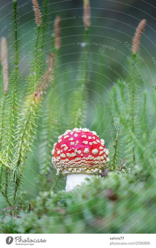 red dwarf in the lycopod forest Environment Nature Plant Autumn Moss Wild plant Mushroom Amanita mushroom Clubmoss lycopodium Medicinal plant Forest Growth