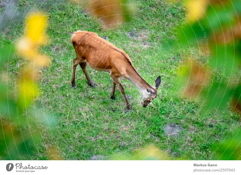 a red deer in the green meadow Eating Beautiful Summer Woman Adults Nature Landscape Animal Grass Meadow Forest Aircraft Fur coat To feed Stand Cool (slang)