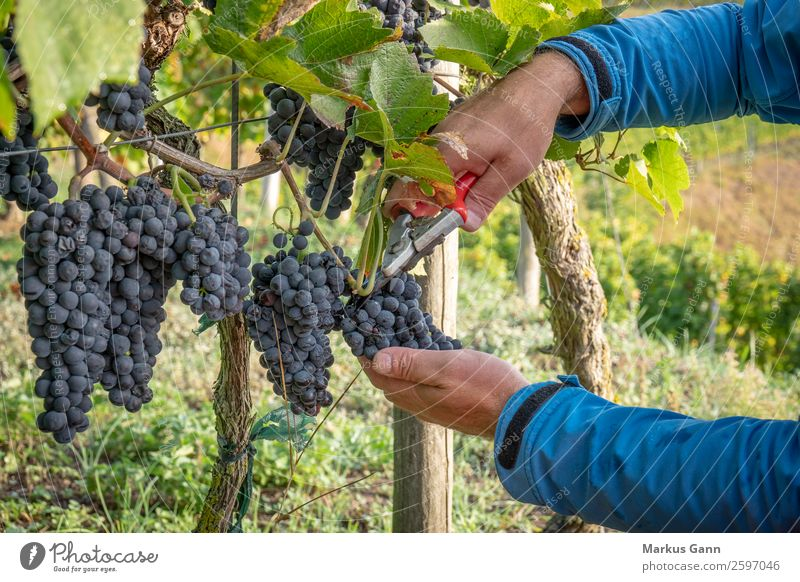 a vineyard red grapes harvest Scissors Hand Nature Fresh Blue Green Red Bunch of grapes Vineyard wine Harvest Mature food Purple agriculture bunch Hanging Crops
