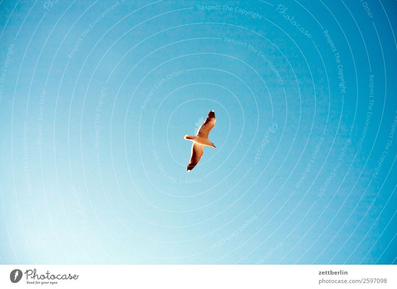 Seagull again Bird Sea bird Wing Flying Floating Flight of the birds Glider flight Loneliness Individual Sky Heaven Cloudless sky Blue sky Sky blue Deserted