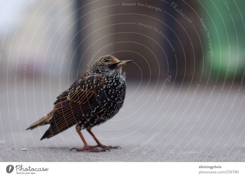 Animal Calm Bird Stand Serene Patient Starling