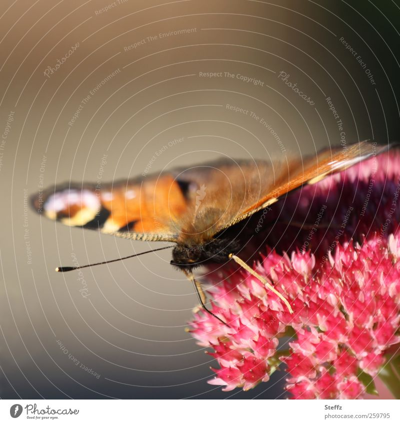 view into the camera Environment Nature Plant Summer Flower Blossom Garden Germany Butterfly Wing Feeler Eyes Peacock butterfly Browns Beautiful Natural Pink