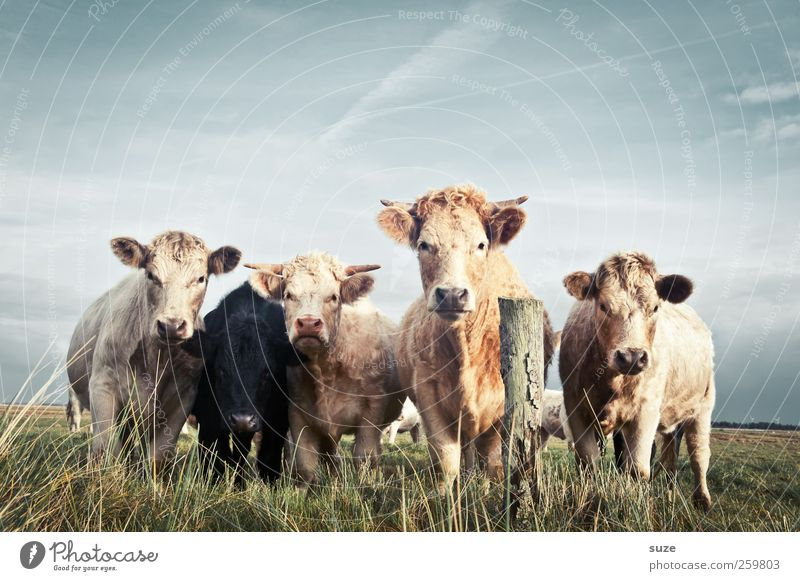 Boss Hosser Organic produce Nature Animal Meadow Farm animal Cow Group of animals Herd Natural Cute Beautiful Love of animals Country life Organic farming
