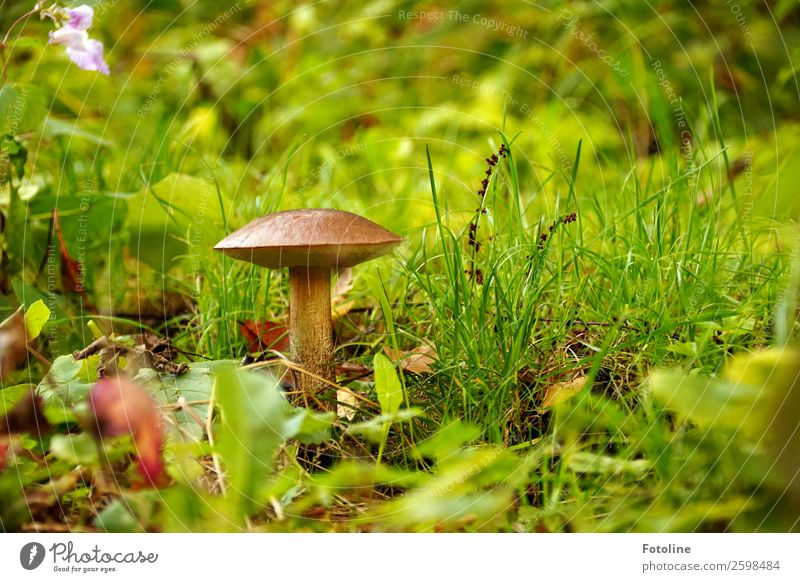 They do exist! Environment Nature Landscape Plant Elements Earth Autumn Grass Forest Bright Near Natural Warmth Mushroom Mushroom cap birch mushroom Autumnal