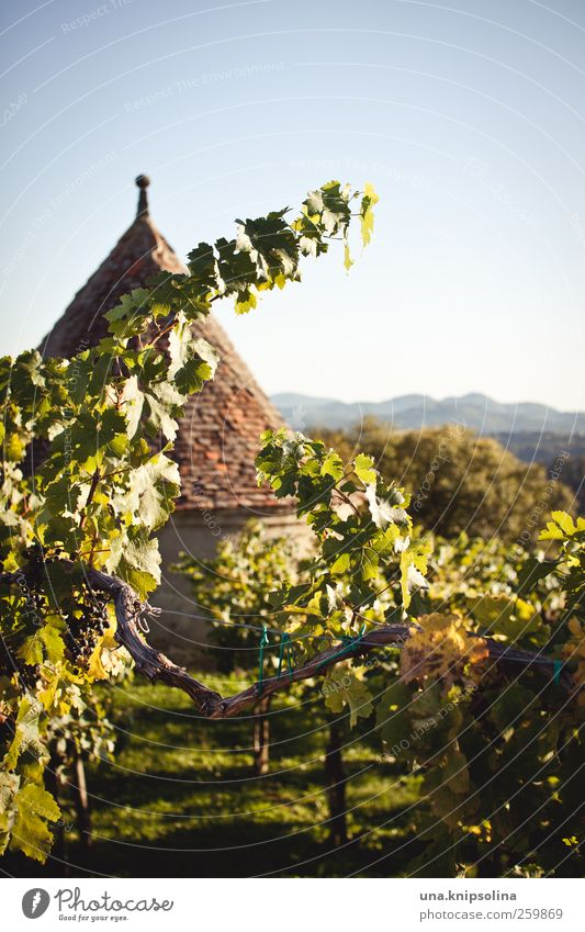 in wine lies the truth Wine Nature Landscape Cloudless sky Sunlight Autumn Beautiful weather Plant Leaf Agricultural crop Wine growing Vine Mountain Vineyard