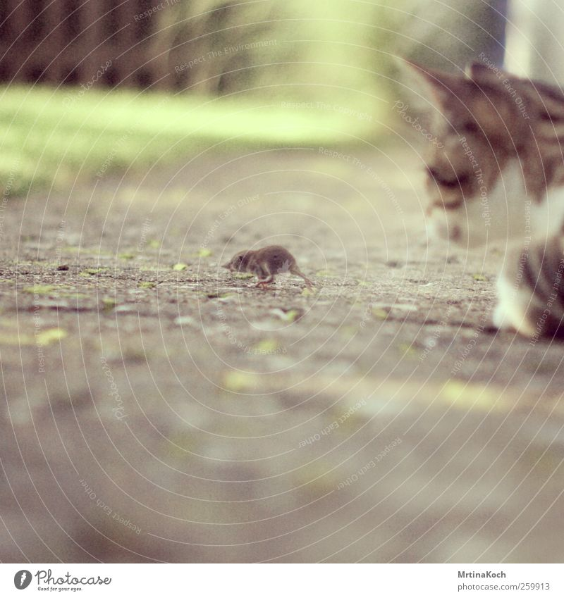 catch me if you can. Animal Pet Farm animal Cat Mouse 2 Catch Hunting Fight as dead as a doornail To feed Colour photo Multicoloured Exterior shot Close-up