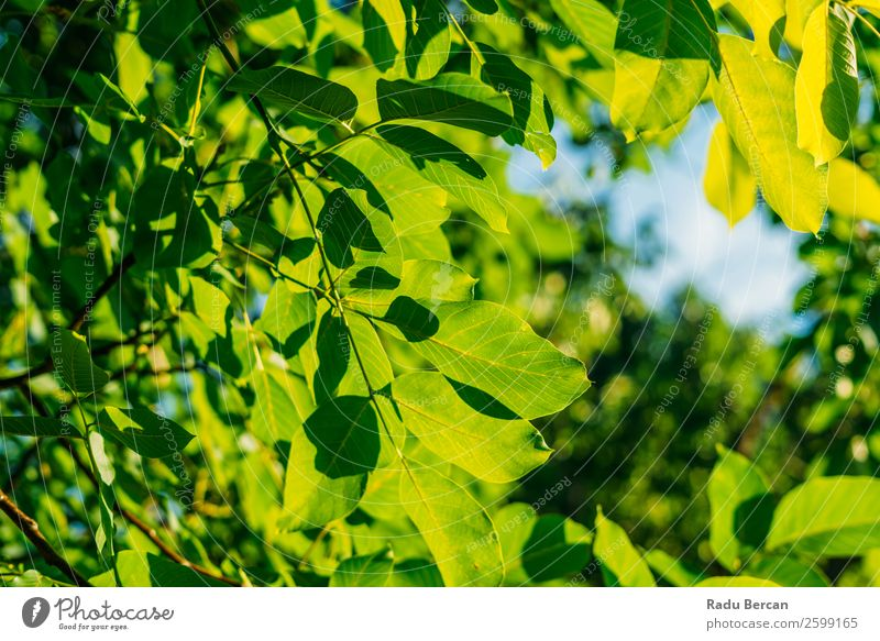 Backlit Fresh Green Tree Leaves In Summer Leaf Background picture Spring Nature Plant