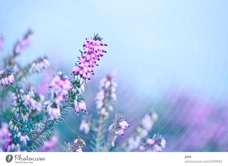 heather Environment Nature Plant Spring Flower Blossom Esthetic Natural Blue Green Pink Mountain heather Colour photo Exterior shot Deserted Copy Space right