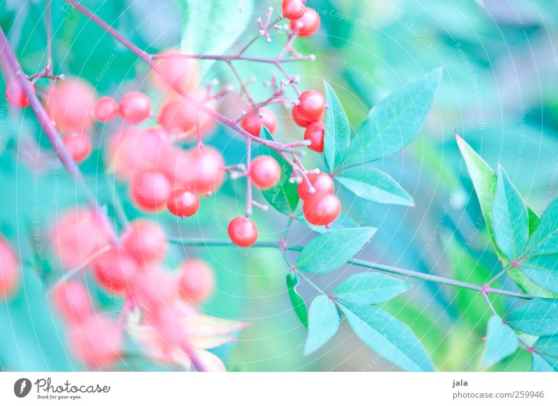 Nature Blue Green Red Plant Leaf Environment Natural Esthetic Bushes Berries Berry bushes