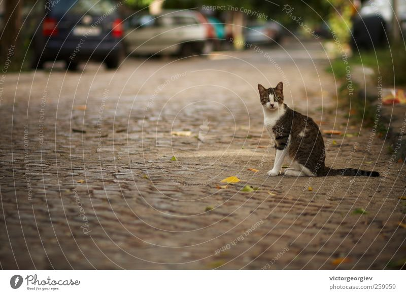 cat Small Town Old town Street Animal Pet Cat Animal face 1 Sit Cute Surprise Pavement Car Escape Domestic cat Lost Strange Friendliness Fur coat Fluffy