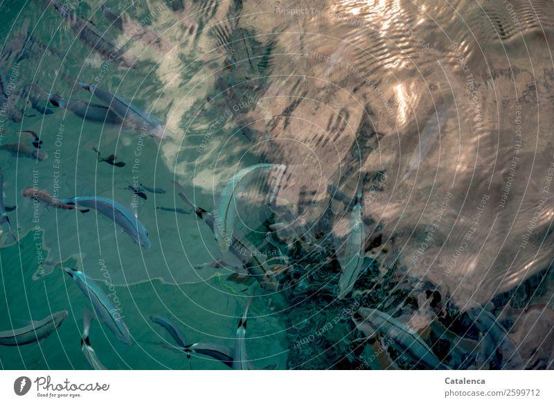 Blue fish Dive Snorkeling Nature Animal Water Sunlight Summer Beautiful weather Waves Ocean Mediterranean sea Fish Shoal of fish Saddled seabream Flock