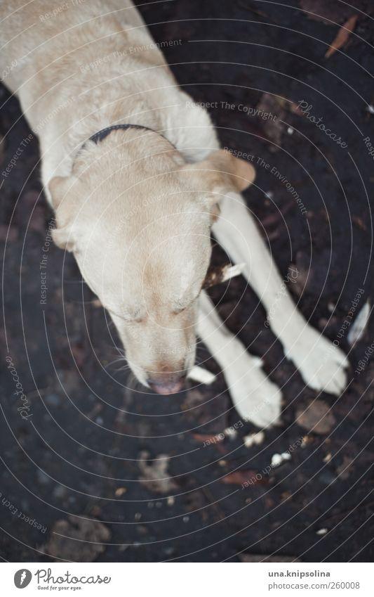 SEAT! Earth Animal Pet Dog Pelt Paw 1 Observe Lie Cuddly Natural Soft Labrador Blonde retriever Dog's snout Colour photo Subdued colour Exterior shot Detail