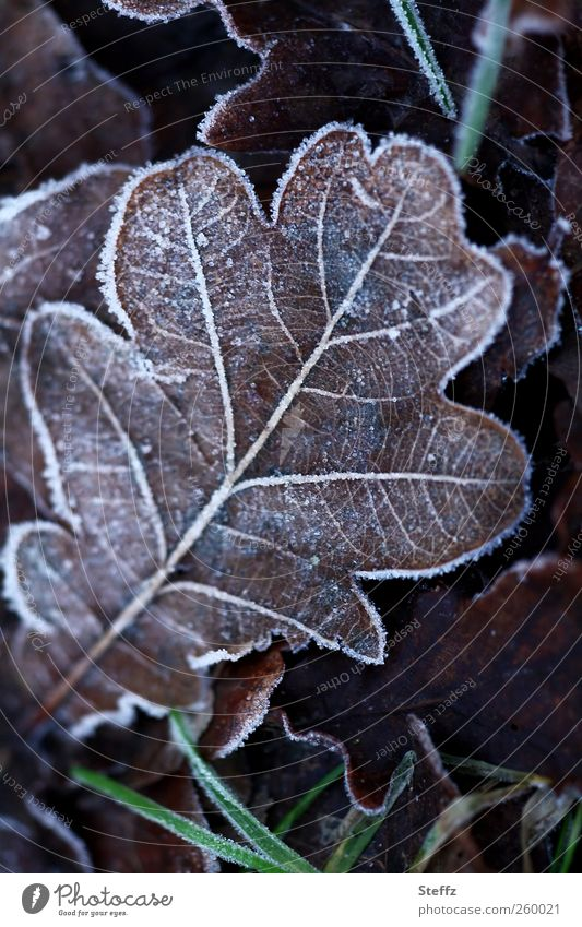 Oak leaf with hoar frost in winter cold Hoar frost onset of winter cold snap Domestic Nordic Nordic cold Freeze Cold Cold shock ice crystals Rachis Transience