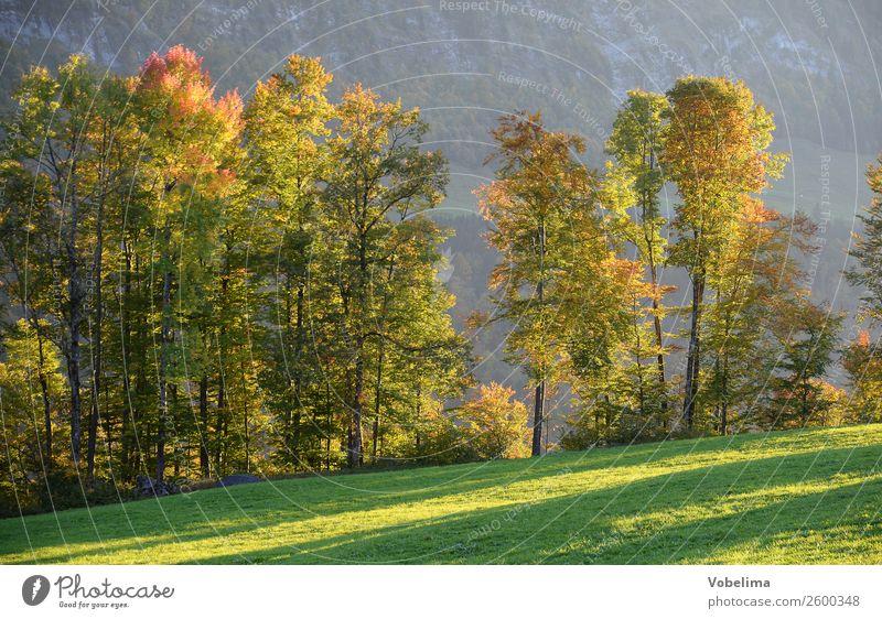 Tree row in autumn Nature Landscape Autumn Beautiful weather Forest Alps Mountain Brown Multicoloured Yellow Gold Gray Green Black Bezau bizau Vorarlberg