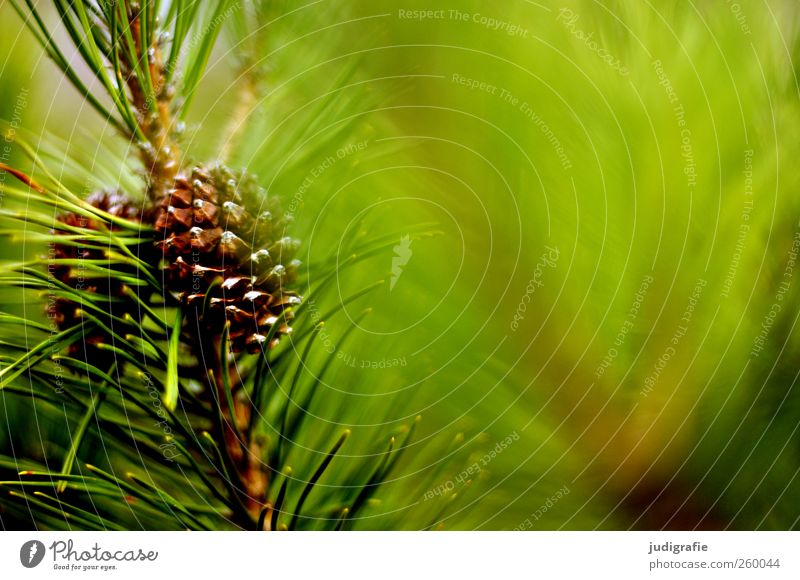 forest Environment Nature Plant Tree Growth Point Green Pine Coniferous trees Twig Cone Colour photo Exterior shot Blur Pine cone