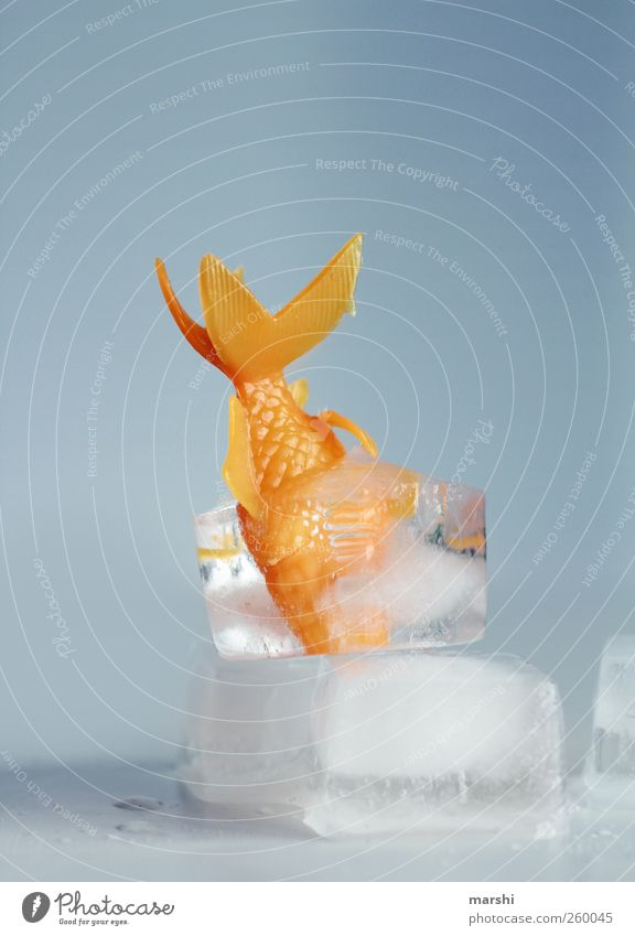 Goldfish in hibernation Animal 1 Blue Fish Frozen Thaw Ice cube Funny Iceberg Cold Captured torpor Colour photo Studio shot Copy Space top Block of ice