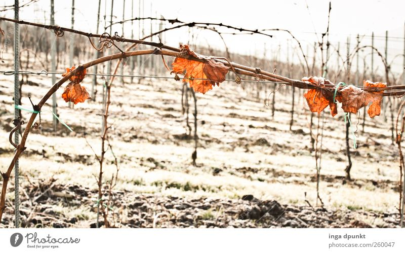 winter wine Environment Nature Landscape Plant Elements Winter Climate Ice Frost Bushes Leaf Agricultural crop Vine Vineyard Autumn leaves Deserted Cold