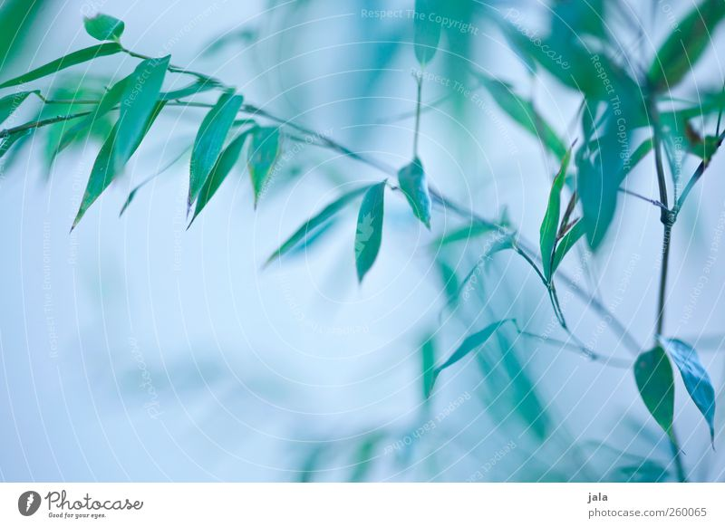 bamboo Environment Nature Plant Bushes Leaf Bamboo Esthetic Natural Blue Green Colour photo Exterior shot Deserted Neutral Background Day