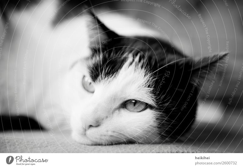 Cat Beautiful White Relaxation Animal Calm Black Love Natural Think Friendship Contentment Lie Authentic Warm-heartedness Observe
