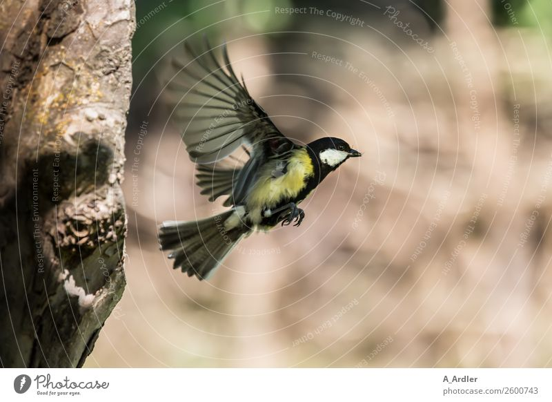 Great tit at departure Plant Tree Garden Park Animal Wild animal Bird 1 Flying Brown Gray Green Black White Tit mouse Peony Colour photo Exterior shot Close-up