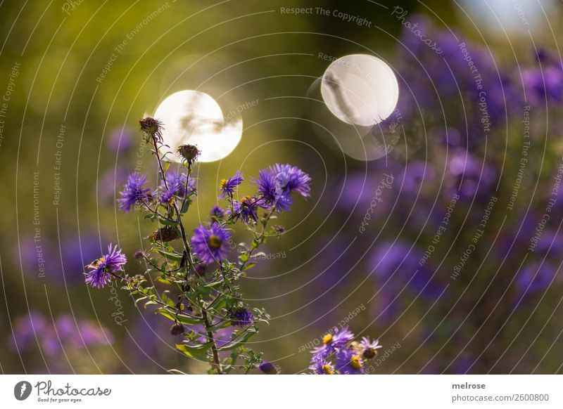 Autumn flower with bokeh Nature Sunlight Beautiful weather Plant Flower Bushes Blossom Wild plant Pot plant Daisy Family Park Blur Visual spectacle