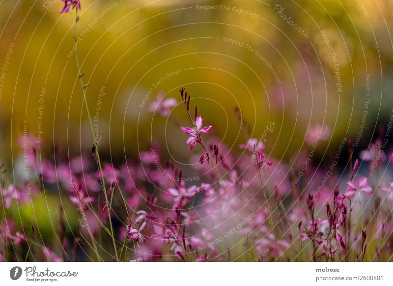 delicate pink blossom Nature Autumn Beautiful weather Plant Flower Bushes Blossom Wild plant Flowering plant Park bokeh Dye Yellow-gold Pink pastel Pastel tone