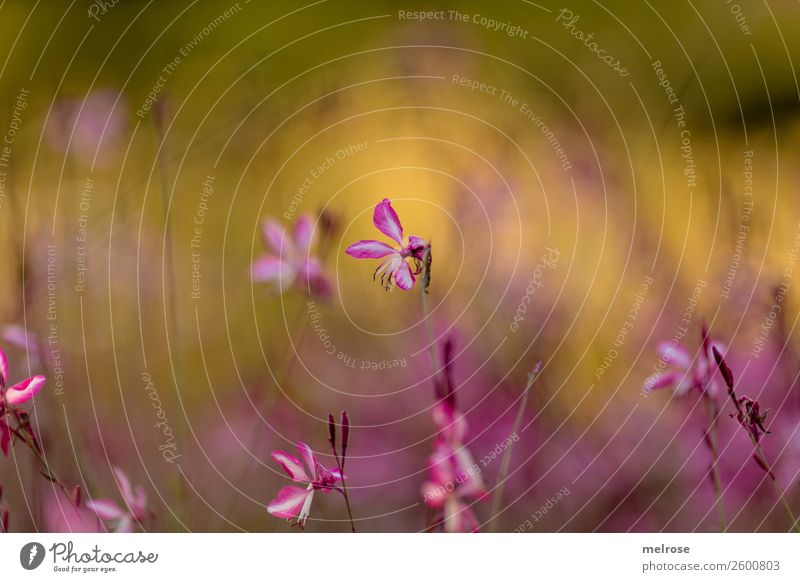 delicate pink blossom Nature Autumn Beautiful weather Plant Flower Grass Bushes Blossom Wild plant Flowering plant Park green-yellow-pink delicate colours