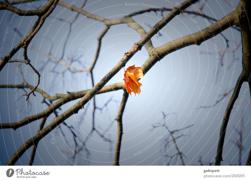 stuck Nature Sky Autumn Plant Leaf Blue Yellow Individual Loneliness Suspended Hang Stay Branch Sadness Colour photo Subdued colour Detail Day Light