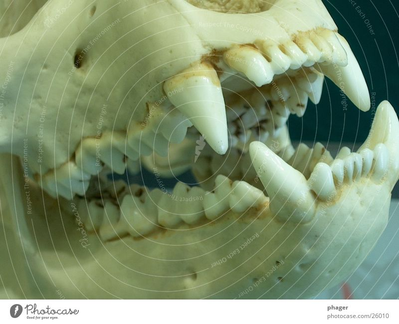 Death Dangerous Point Set of teeth Bite Human being Skeleton Bear Pine Death's head Fang Panda
