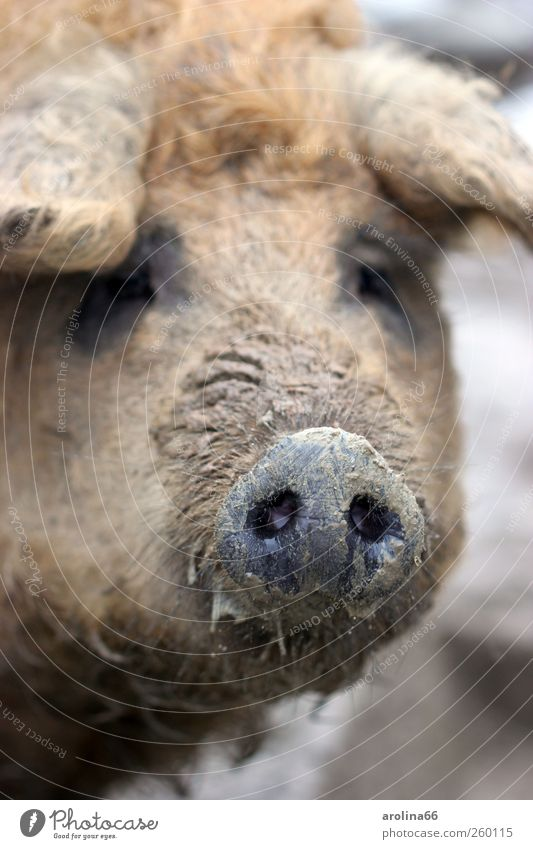 always following the nose Earth Animal Farm animal Animal face Zoo Wool pig Pig's snout Swine 1 Dirty Brash Happy Wet Natural Curiosity Slimy Brown Black