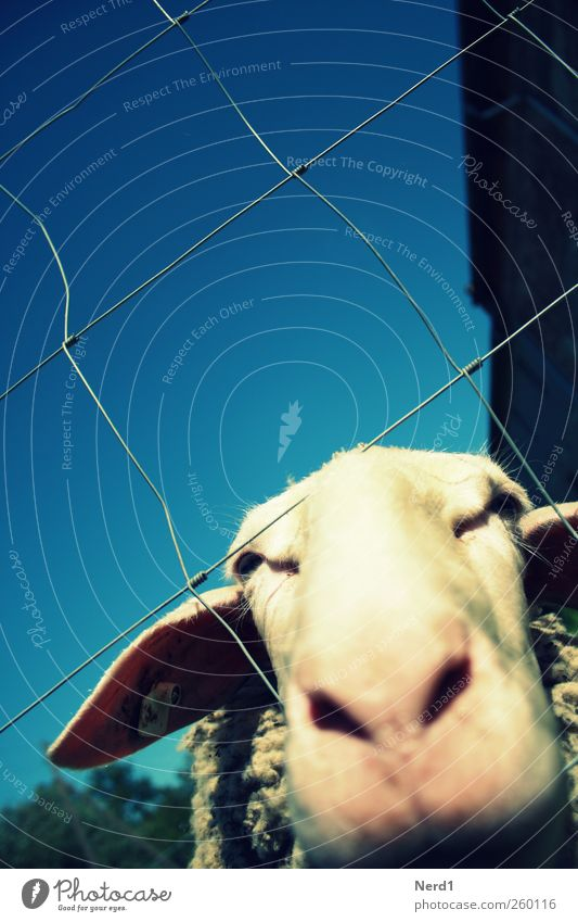 Sky Blue White Summer Animal Trip Cute Pelt Animal face Fence Sheep Farm animal