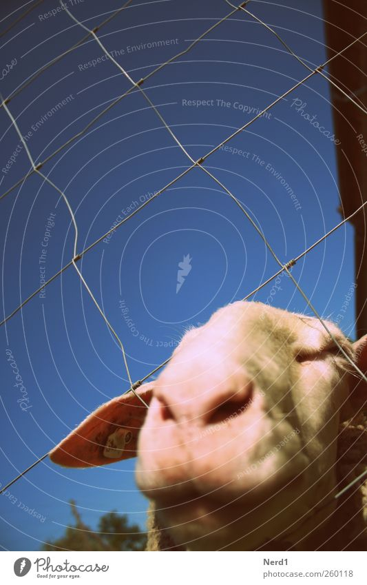 Sheep1 Animal face Pelt Feeding Warmth Blue Pink White Sky Colour photo Multicoloured Exterior shot Close-up Experimental Isolated Image Day Deep depth of field