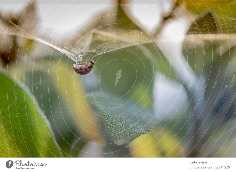 Complex | the properties of a spider thread Nature Plant Animal Summer Leaf Agricultural crop Sage Herbs and spices Garden Beetle Ladybird 1 Spider's web Catch
