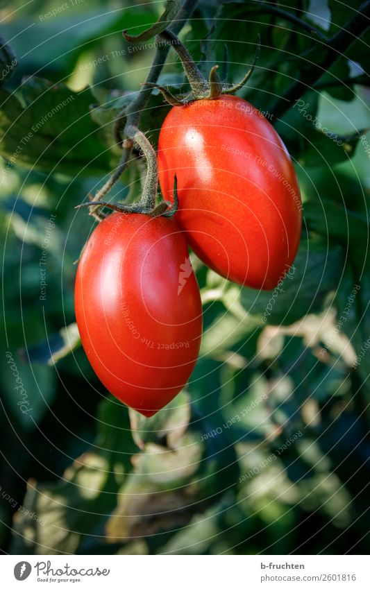 Summer Plant Red Healthy Food Autumn Fruit In pairs Growth To enjoy Bushes Observe Delicious Vegetable Candy Harvest