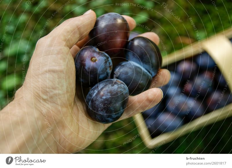Damask plums Food Fruit Organic produce Vegetarian diet Healthy Eating Man Adults Hand Fingers Grass Work and employment Select To hold on Fresh To enjoy Plum