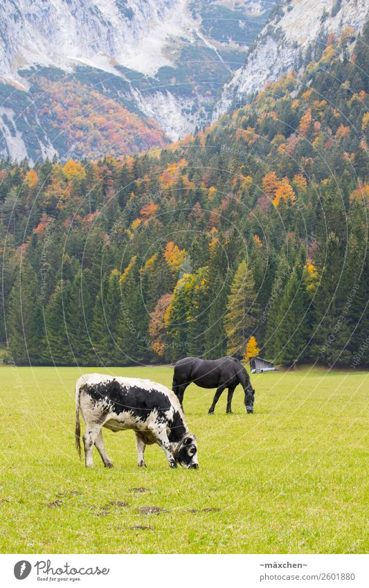 Cow and horse Environment Nature Landscape Plant Animal Autumn Tree Grass Meadow Forest Rock Alps Mountain Horse 2 To feed Yellow Gold Green Orange Red Pasture