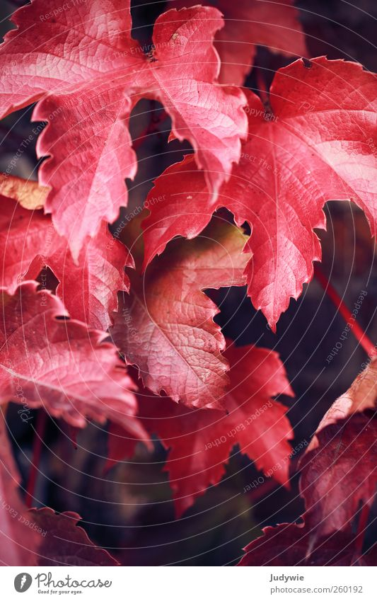 Nature Red Plant Leaf Colour Autumn Environment Wall (building) Wall (barrier) Natural Growth Change Vine Transience Idyll Hang