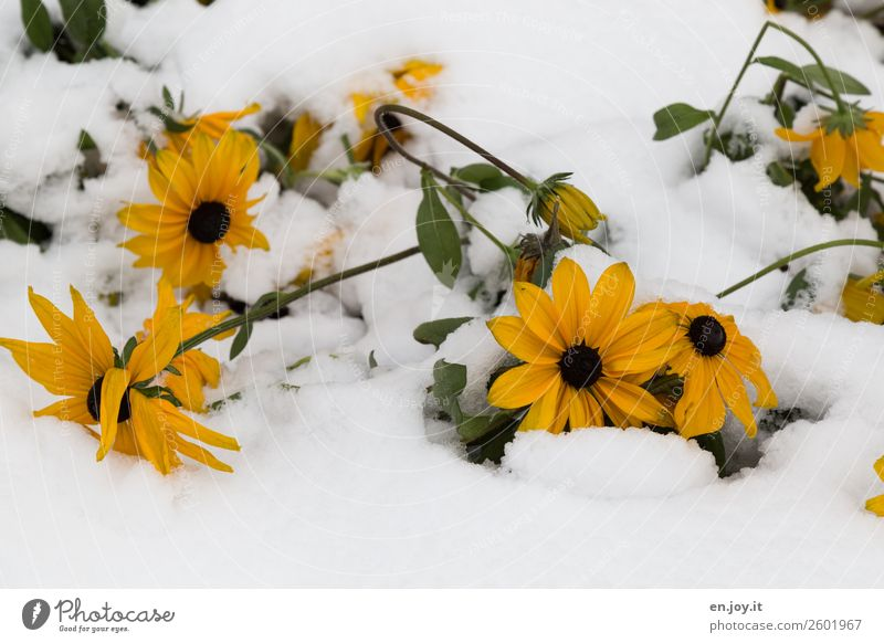 too soon Nature Plant Winter Climate Climate change Weather Snow Flower Blossom Cold Yellow Belief Religion and faith Hope Protection Survive Environment