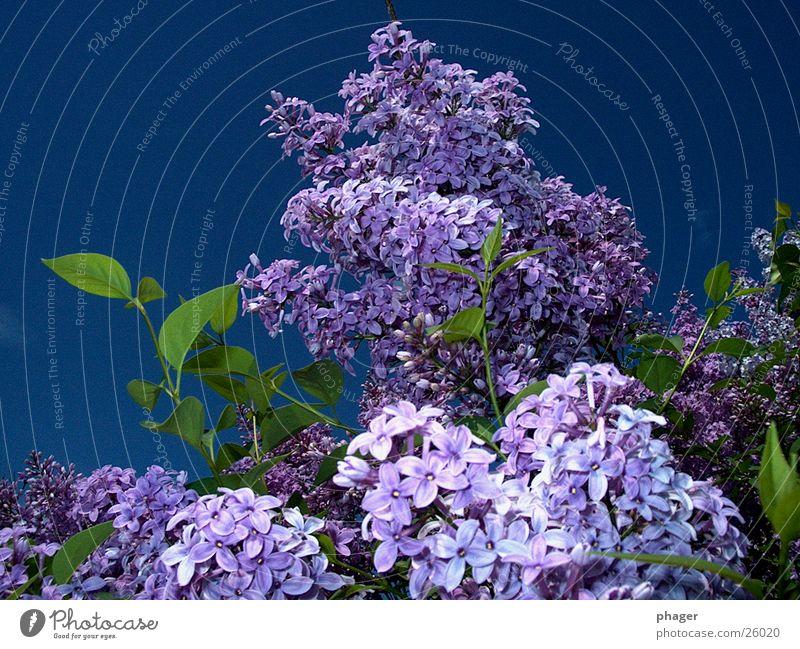 lilac fladern Lilac Blossom Leaf Violet Spring Summer Apiaceae Purloin Bushes Buddleja Sky Blossoming Fragrance