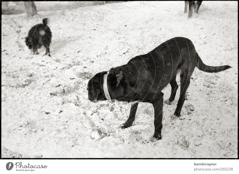 Two and a Half Dogs Nature Ice Frost Snow Animal Pet 2 3 Black White Cold Analog Black & white photo Exterior shot Looking back Looking away
