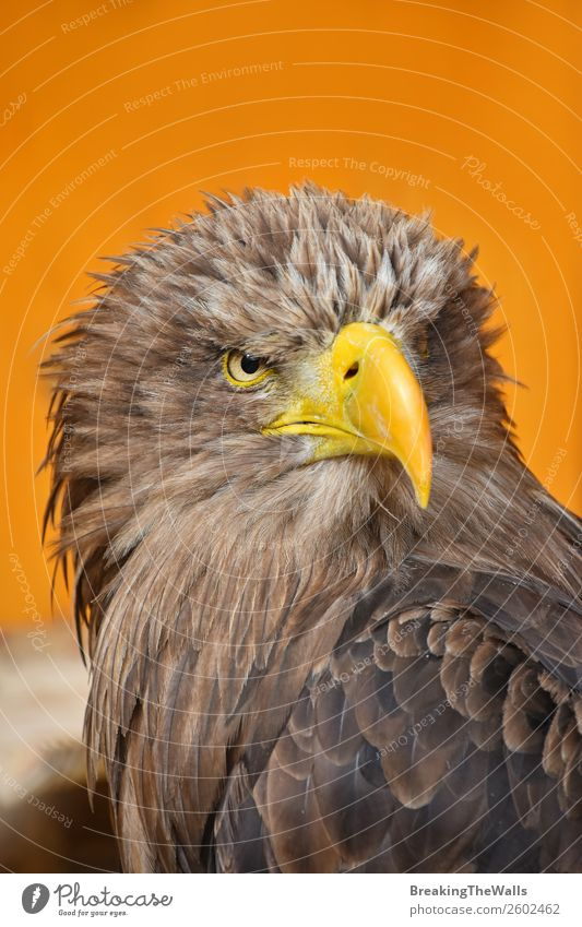 Close up front portrait of one white-tailed sea eagle Nature Animal Wild animal Bird Animal face Zoo 1 Observe Dark Brown Yellow Watchfulness Eagle background