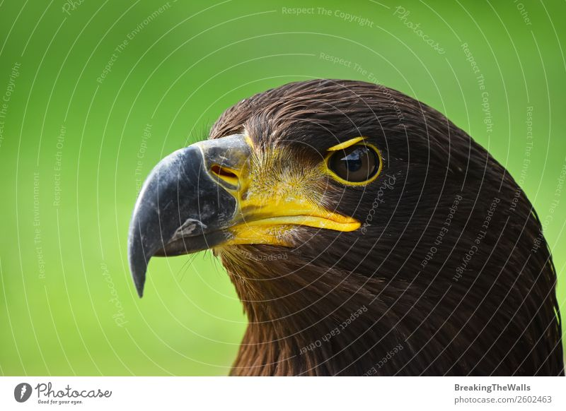 Close up profile portrait of Golden eagle over green Summer Nature Grass Animal Wild animal Bird Animal face Zoo 1 Observe Dark Brown Green Watchfulness Eagle