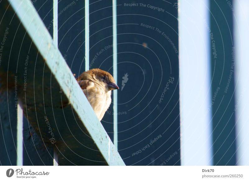 Feathered Zaungast Sun Sunbathing Fence Fence post Animal Wild animal Bird Sparrow Passerine bird 1 Prop Steel carrier Joist Metal Stripe Observe Looking Sit
