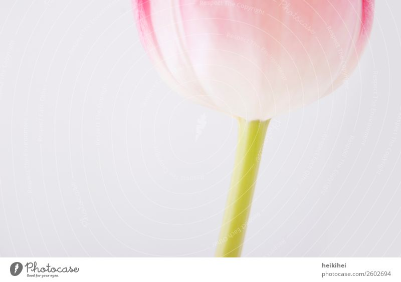 Naturally geometric II Plant Tulip Blossom Green Pink White Neutral Background Bright Section of image Detail Close-up Calyx Flower stem blossombatt Fashioned
