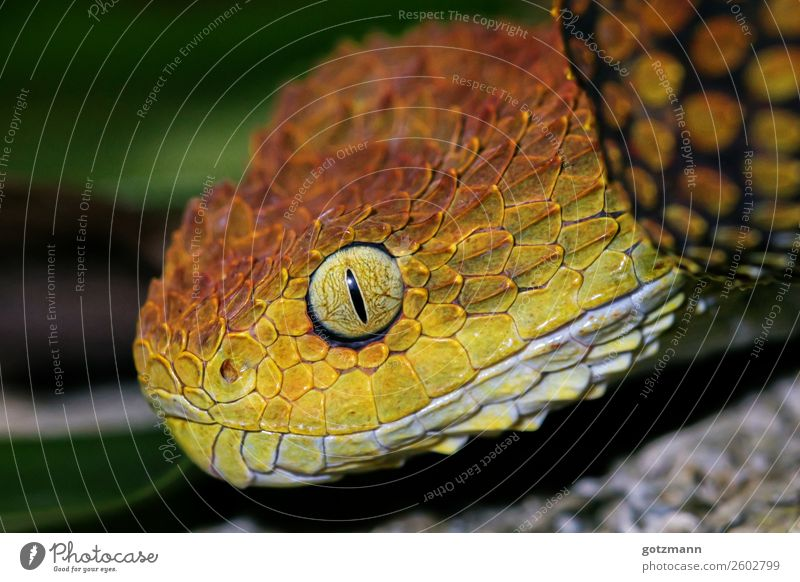 Red and Yellow Nature Animal Wild animal Snake 1 Work and employment Select Observe Discover Catch Hunting Lie Aggression Esthetic Athletic Authentic