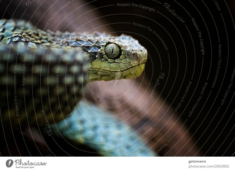 blue viper Nature Animal Pet Wild animal Snake Zoo 1 Breathe Running Observe Hunting Aggression Esthetic Athletic Authentic Exceptional Threat Gigantic Creepy