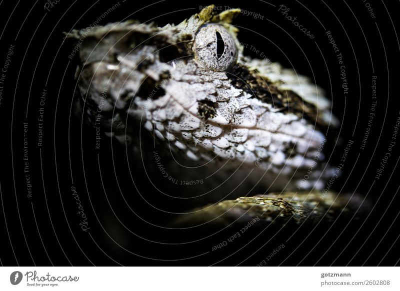 eye to eye Nature Animal Pet Wild animal Snake 1 Observe Discover Hunting Fight Wait Aggression Esthetic Athletic Authentic Exceptional Threat Elegant Success
